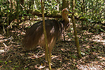 Cassowary chick walks the forest alone, This chick may have just been kicked out by his dad. Southern cassowary (Casuarius casuarius) also known as double-wattled cassowary, Australian cassowary or two-wattled cassowary.