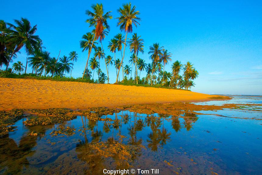 Coconut Palms at Praia do Forte Beach, Brazil   Beach Resrve on Atlantic Coast  Bahia Region