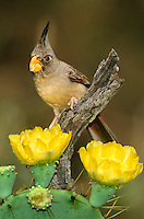573900002 a wild adult female pyrrhuloxia cardinalis sinatus perches on a dead mesquite tree branch while feeding on opuntia blossoms on a private ranch in the rio grande valley of south texas