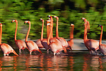 American Flamingos