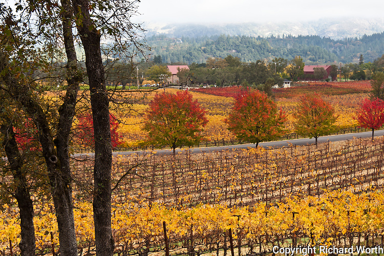 Red, orange, gold and green - vineyards and hills dressed for autumn in the Napa Valley wine country.