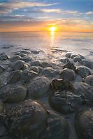 Horeshoe crabs, on the Atlantic Coast, Moore's Beach, Delaware Bay, New Jersey