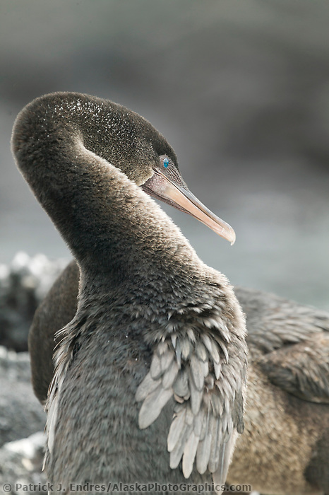 Flightless Cormorant, Galapagos Islands, Ecuador. Native to the Galapagos Islands. It is the only cormorant that has lost the ability to fly and was once placed in its own genus, Nannopterum, although current taxonomy places in the genus with other cormorants, Phalacrocorax.