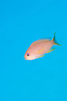 A basslet or anthias, Sangalaki, Kalimantan, Indonesia.