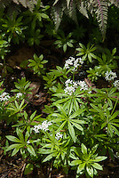 Galium odoratum in spring bloom