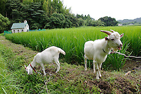 Goats in the paddy field next to the main house, Brown's Field, Isumi, Chiba Prefecture, Japan, August 8, 2009.The organic farm introduces healthy and sustainable living in the Japanese countryside. It is staffed by the Brown family and volunteers from around the world.