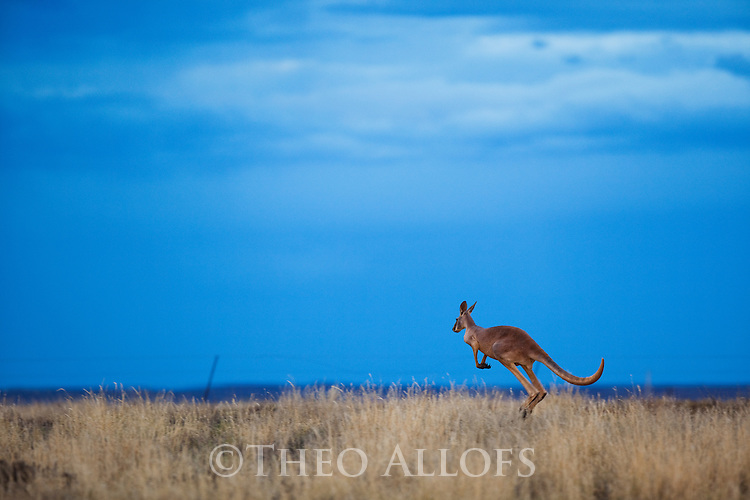 Australia,  NSW, Sturt National Park; red kangaroo hopping along fence at dusk (Macropus rufus); the red kangaroo population increased dramatically after the recent rains in the previous 3 years following 8 years of drought