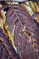 Albizia julibrissin 'Summer Chocolate' in autumn color, Mimosa tree with purple foliage leaves