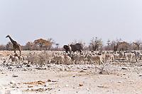 Zebra herd, Giraffe and Elephant, Kalkheuwel Waterhole, Etosha NP, Namibia