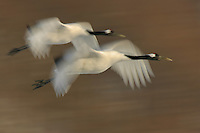 Panned image of two red-crowned cranes in flight, Hokkaido Island, Japan.