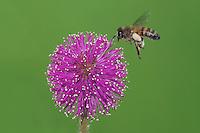Honey Bee (Apis mellifera), adult in flight landing on Sensitive Briar (Mimosa nuttallii), Sinton, Corpus Christi, Coastal Bend, Texas, USA