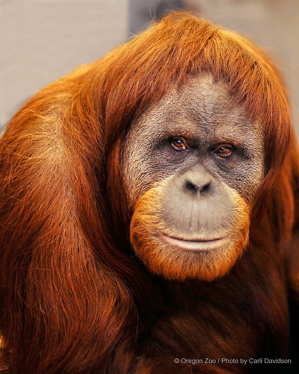Bornean Orangutan (Pongo pygmaeus) Batik in her holding area at the Oregon Zoo.