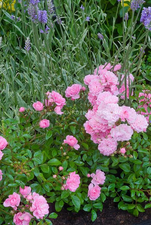 rosa 39 the fairy 39 and lavandula lavender plant flower. Black Bedroom Furniture Sets. Home Design Ideas