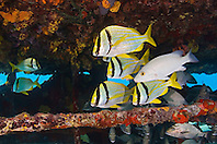 Porkfish, Anisotremus virginicus, Gray Snapper, Lutjanus griseus, and Sailors Choice, Haemulon parra, sheltering under Sugar Wreck, the remains of an old sailing ship that grounded many years ago, West End, Grand Bahamas, Atlantic Ocean