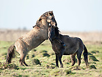 Konik Horse, Kent UK, pair of males fighting, rearing up, biting, direct descendants of the Tarpan, a wild horse which was hunted to extinction, Koniks is Polish word for wild horse, winter coat, pony, introduced into wetland areas to help graze and keep reedbeds managed for conservation