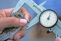 Scientist using calipers to take measurements of a Least Sandpiper. Thompson's Beach, New Jersey