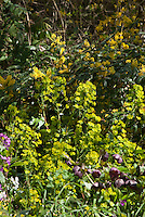 Mahonia aquifoium?, Euphorbia amygdaloides var. robbiae, Helleborus x hybridus plum, Lunaria annua