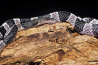 439854001 a captive many-banded krait bungarus multicinctus multicintus lays coiled on a large log - this is a captive animal - species is native to southeast asia