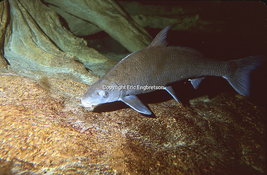 Blue sucker engbretson underwater photography for Freshwater sucker fish