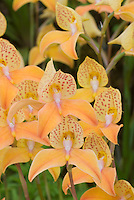 Disa Kewensis Hardy Orchid
