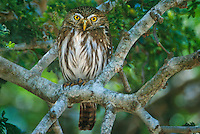 563990013 a wild ferruginous pygmy owl glassidium brasilianum perches in a large tree on a private ranch in tamaulipas state mexico