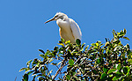 Egret in Upper Newport Bay.