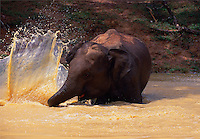 Elephant playing in a waterhole.
