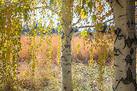 European weeping birch (Betula pendula) in yellow autumn, fall color in Colorado meadow garden