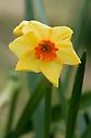 Daffodil (Narcissus 'Hugh Town'), a Division 8 Tazetta variety, mid February.