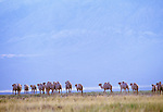 Bactrian camel herd, Great Gobi Protected Area, Mongolia