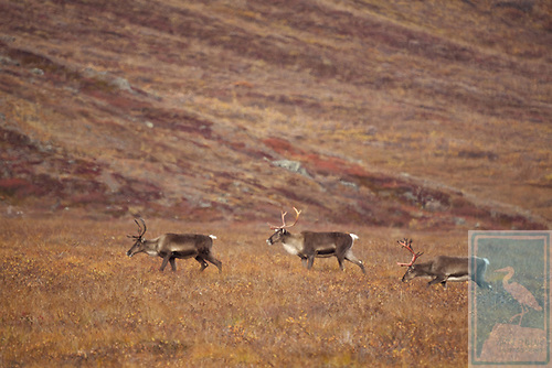 3 caribou sporting majestic racks walking across the meadow