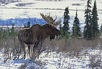 Bull moose, snow covered tundra and boreal forest, Denali National Park, Alaska