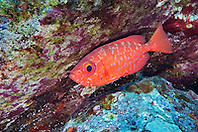Bigeye, Heteropriacanthus cruentatus, Aweoweo in Hawaiian, off Kona Coast, Big Island, Hawaii, Pacific Ocean