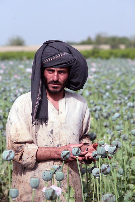 A man working in an opium poppy field watches U.S. soldiers from Company A, 2nd Battalion, 2nd Infantry Regiment walk past him during a patrol near the village of Zangabad in Panjwayi district, Kandahar province, Afghanistan. April 28, 2009. DREW BROWN/STARS AND STRIPES