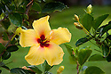 Yellow hibiscus blossom.