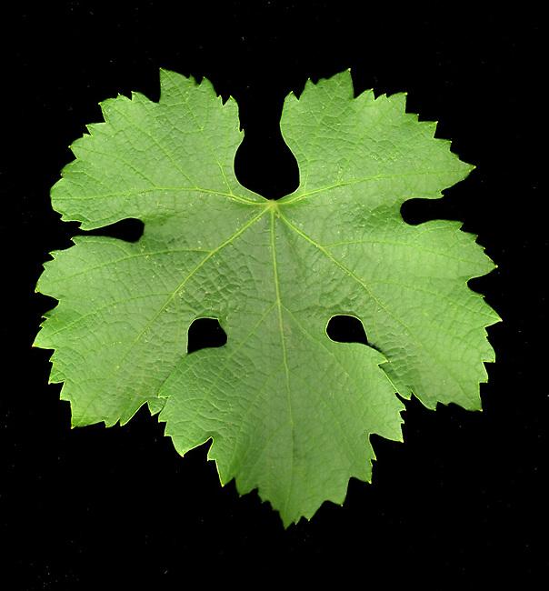 Merlot grape leaf