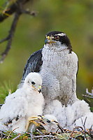 A female Goshawk (Accipiter gentilis) feeding two nestlings; Chiricahua Mountains, Arizona