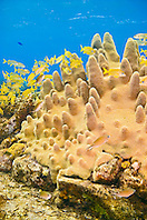 Pillar Coral, Dendrogyra cylindrus, growing over Sugar Wreck, the remains of an old sailing ship that grounded many years ago, West End, Grand Bahamas, Atlantic Ocean