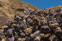A barnacle and mussel covered rock with coastal bluffs and SoCal blue sky in the background at Crystal Cove State Park.