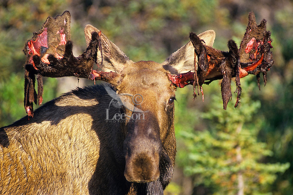 Bull moose shedding velvet in early fall.  Alaska.
