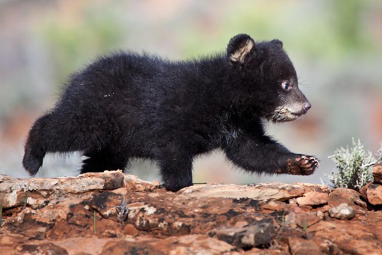 Black Bear cub walking across a rocky hill - CA