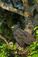 541710160 a wild adult common black hawk buteo anthracinus tends to a downy chick in a nest high up in a large tree on los ebanos ranch in tamaulipas state mexico