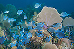 Gardens of the Queen, Cuba; an aggregation of Blue Tangs and Doctorfish feeding on the coral reef