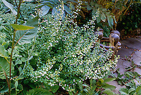 Calamintha nepeta (Calamint) flowering by flagstone patio
