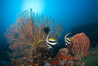 A pair of Reef Bannerfish, Heniochus acuminatus, parade past a barrel sponge and a gorgonian fan coral. Narcondam Island, Andaman Islands, Andaman Sea, India