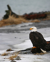 Profile view of an American bald eagle (Haliaeetus leucocephalus) standing on a piece of driftwood in the snow, Alaska.