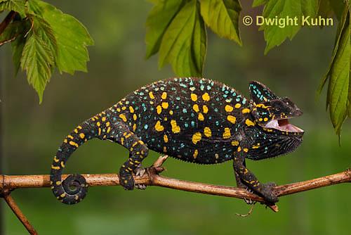 CH39-507z  Female Veiled Chameleon in display colors, Chamaeleo calyptratus