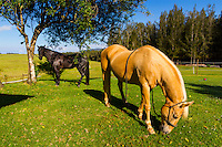 Two horses graze in a pasture on a warm summer morning, Waimea, Big Island.
