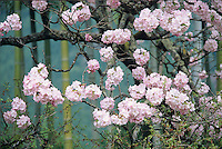 Sakura is the name in Japanese for the blooming cherry, whose latin name is Prunus serrulata.