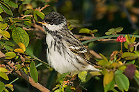 591510017 a wild male blackpoll warbler setophaga striata - was dendroica striata - in breeding plumage perches in a mesquite bush on south padre island texas united states